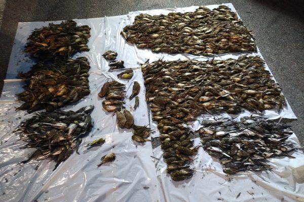 Zelena luč tožilstva za tihotapce pobitih ptic