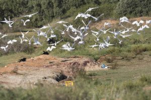 The waste in this olive grove attracted, apart from storks, many egrets and ravens. Photo: Tilen Basle
