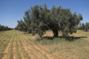 Olive grove, where Srečko met his sad end. Photo: Tilen Basle