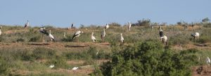 Storks at the slaughterhouse waste landfill. Many of them probably knew Srečko. Photo: Tilen Basle