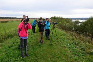 Obiskovalci izleta ob zadrževalniku Medvedce so lahko opazovali številne vodne ptice, med katerimi je izstopala jata 104 sivih gosi. Foto: Janez Leskošek