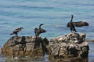 Sredozemski vranjeki (Phalacrocorax aristotelis desmarestii). Foto: Simon Kovačič