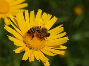 KRANJSKA ČEBELA (Apis mellifera carnica) na primožkovem cvetu foto: Janez Gregori