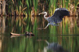 SIVE ČAPLJE (Ardea cinerea) so bile med najpogosteje opaženimi pticami; zadrževale so se predvsem na bregovih jezer. foto: Matej Vranič