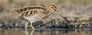 Common Snipe. Photo: Alen Ploj