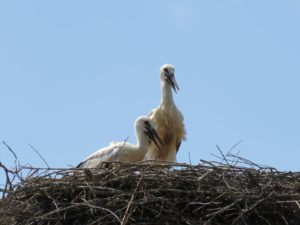 Mladiča bele štorklje v gnezdu z nameščenima oddajnikoma. Foto: Ursa gajsek