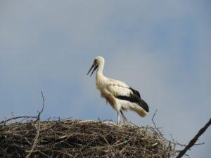 Mladič bele štorklje na gnezdu. Foto: Urša Gajšek
