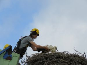 Vračanje opremljene štorklje v gnezdo. Foto: Urša Gajšek